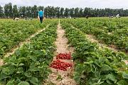 Сбор клубники с участием населения в «Совхозе имени Ленина» начнется с 22 июня